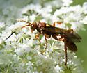 orange wasp? (with tri-colored antennae) - Spilichneumon
