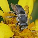 Texas Megachilidae? - Megachile - female