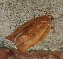 Orange Moth - Choristoneura