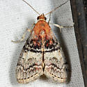 Pyralid - Pococera maritimalis