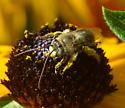 bee on black-eyed susan - Melissodes druriellus
