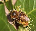 Bee - Exomalopsis mellipes