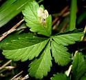 Potentilla Leaf Miner [Fenella? nigrita??] ID Request - Fenella nigrita