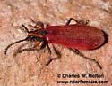 Lycid? - Elytroleptus rufipennis