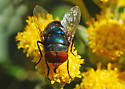 Hairy Maggot Blow Fly - Chrysomya megacephala - male