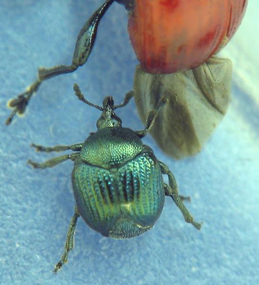 Small attelabid about to mount big attelabid - Pterocolus ovatus