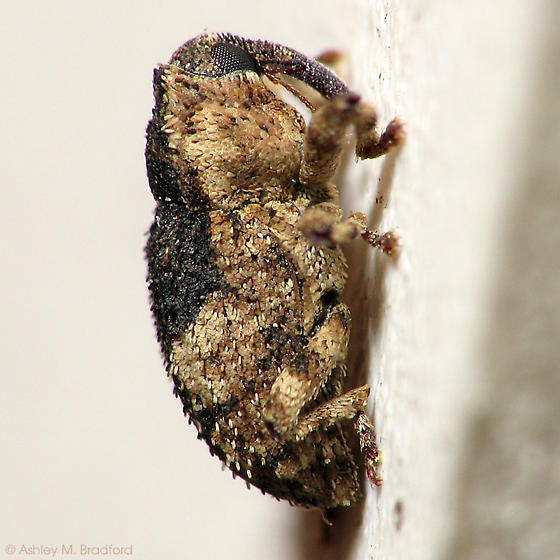 Scaly Weevil - Cophes fallax