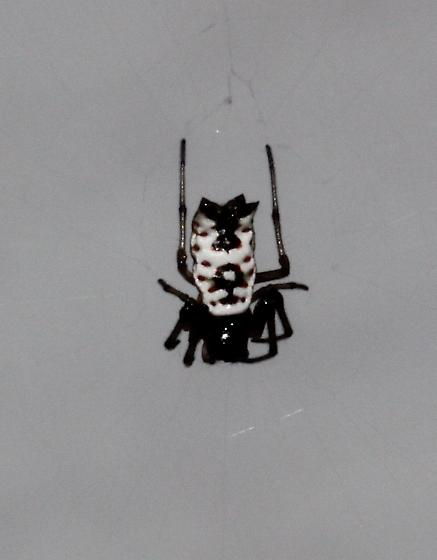 Micrathena mitrata - female