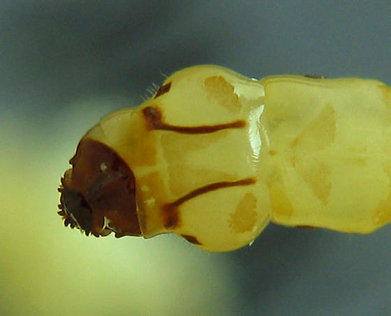 Eucnemid larvae - Dirrhagofarsus ernae