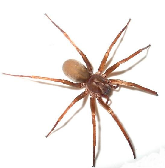 Brown Spider Titiotus Bugguide Net