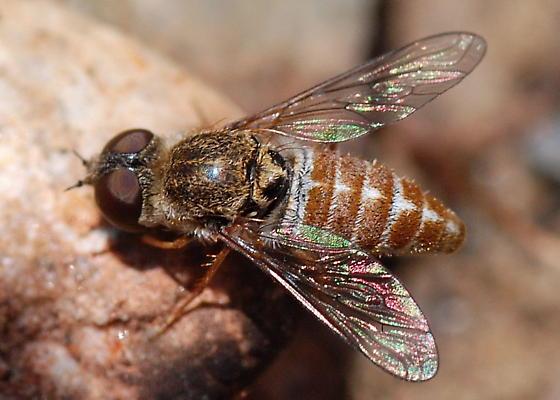Aphoebantus borealis - female