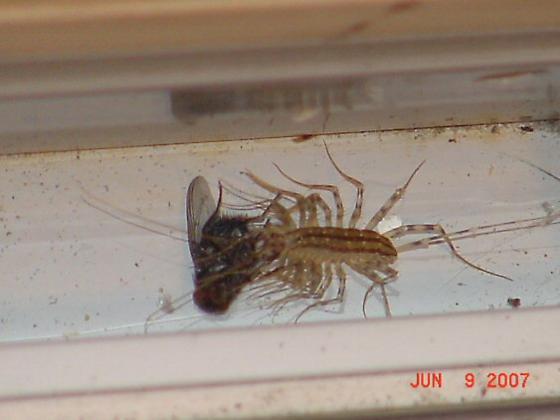 Centipede munching on a fly - Scutigera coleoptrata