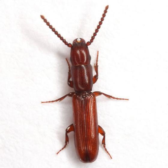 Taphroscelidia linearis (LeConte) - Taphroscelidia linearis