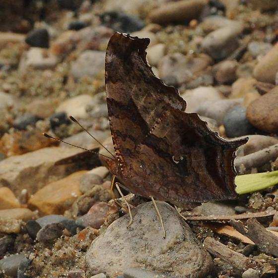 Question Mark - Polygonia interrogationis - male