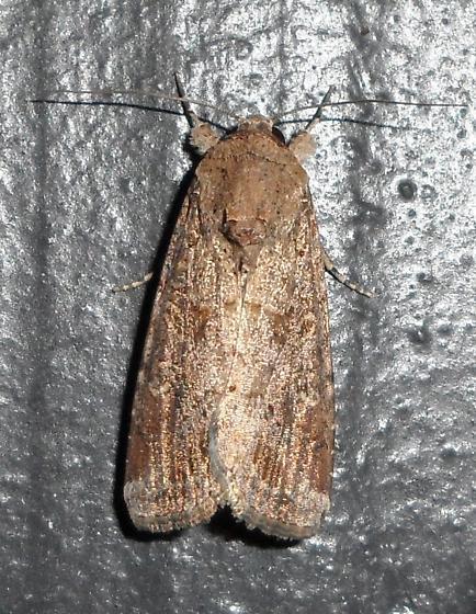 Fall Armyworm Moth - Spodoptera frugiperda - female