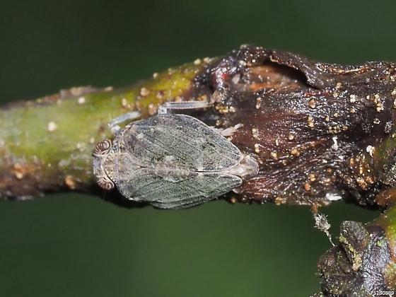 Thionia elliptica