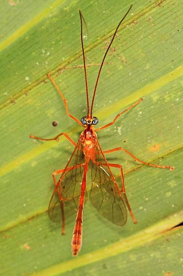 Ichneumon - Ophioninae? - Enicospilus flavostigma - male