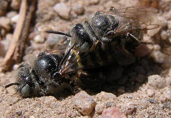 Calliopsis - male - female
