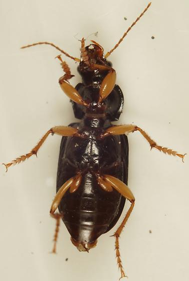 Unknown Carabid - Anisodactylus verticalis