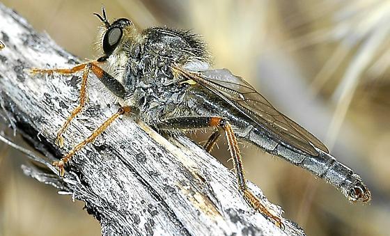 Asilidae, possibly Stenopogon - Stenopogon engelhardti