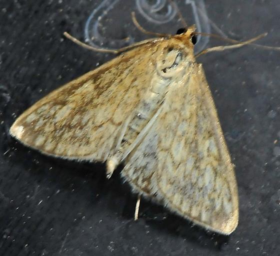 Lepidoptera - Butterflies and Moths - Sitochroa chortalis