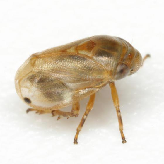 Clastoptera xanthocephala Germar - Clastoptera xanthocephala