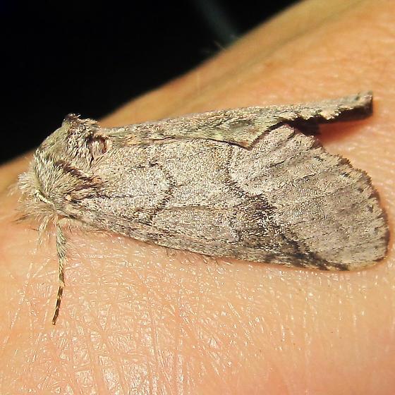 Finger moth - Lochmaeus bilineata
