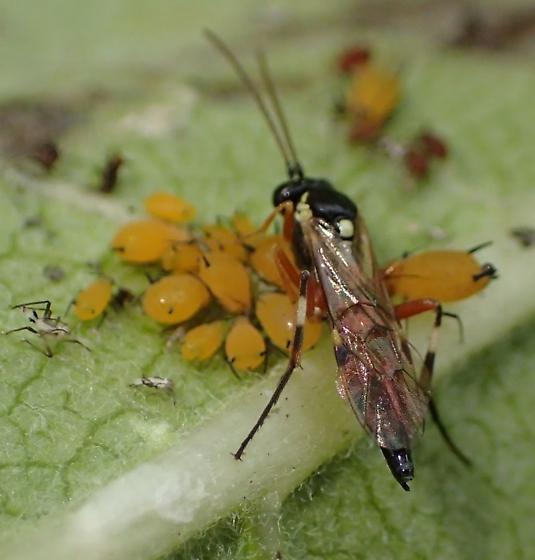 Braconidae sp ? - Diplazon laetatorius - female