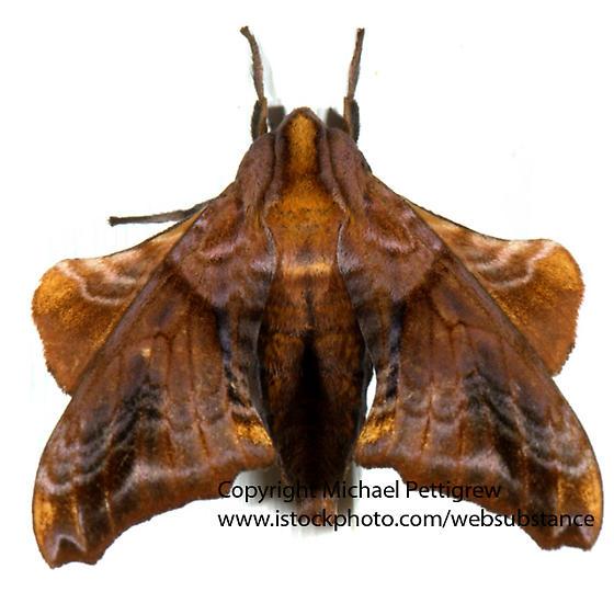 Sphynx moth? - Paonias myops