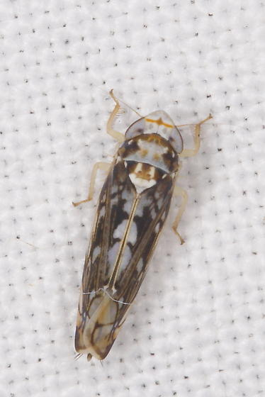 Leafhopper A - Scaphoideus