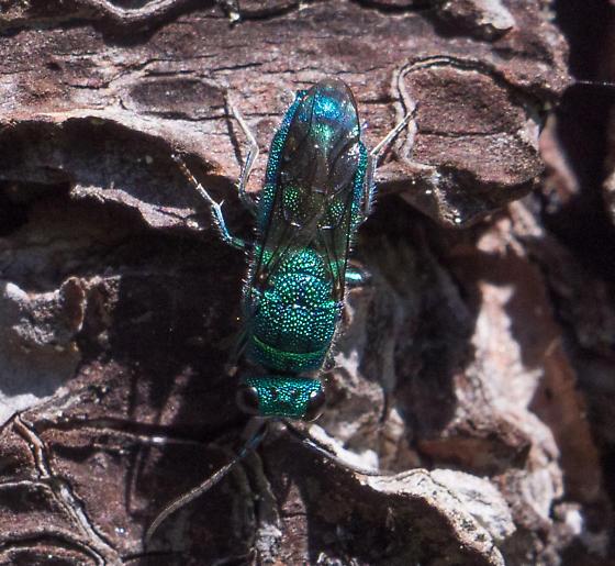 Cuckoo wasp species