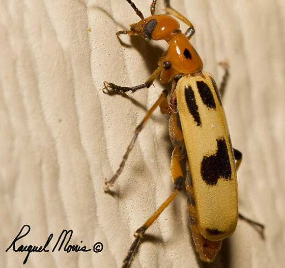 Checkered Beetle? - Pyrota punctata