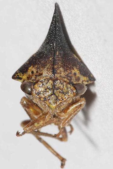 Treehopper, Thelia bimaculata - Thelia bimaculata - male