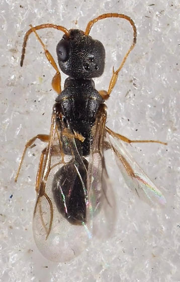 Wasp perhaps Bethylidae Dissomphalus - Dissomphalus