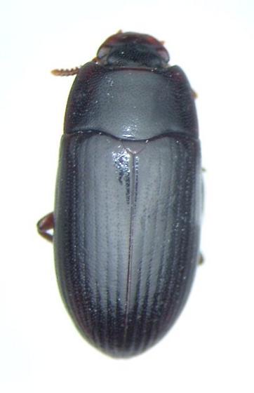 Alphitobius - Alphitobius diaperinus