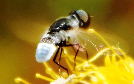 Restless bombyliidae - Astrophanes