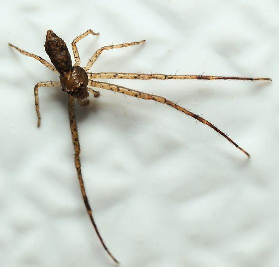 Long-Legged Spider - Tmarus - male