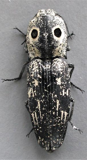 Another eyed click beetle - Alaus lusciosus