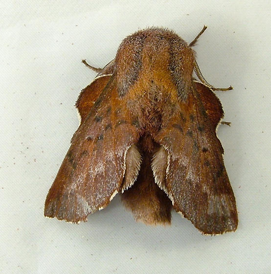 2096 Phyllodesma americana or P. coturnix - Lappet Moth 7687 - Phyllodesma - male