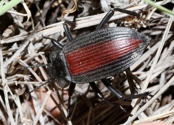 Darkling Beetle with reddish elytra - Eleodes suturalis