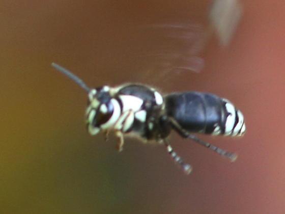 Bald-faced Hornet? - Dolichovespula maculata - female