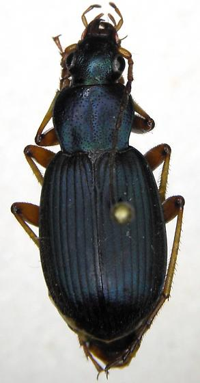 Chlaenius chaudoiri - Chlaenius cumatilis - male