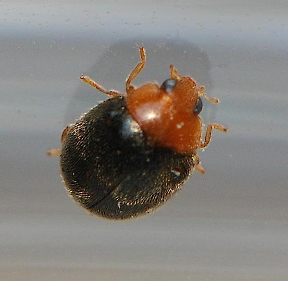 Coccinellidae (Ladybird Beetles) - Scymnus