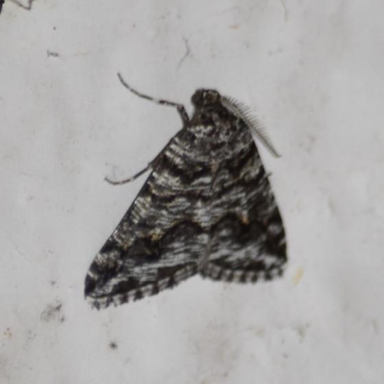 Macaria schatzeata