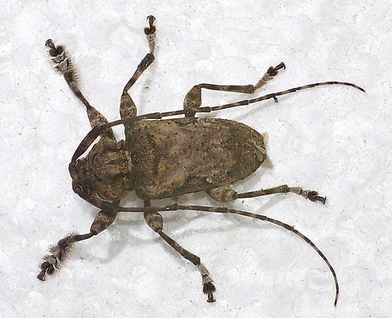 cerambycid - Lagocheirus obsoletus