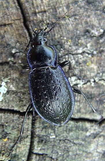 Carabidae: Calosoma/Callisthenes externum? - Carabus serratus