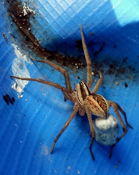 wolf spider - Rabidosa rabida - female