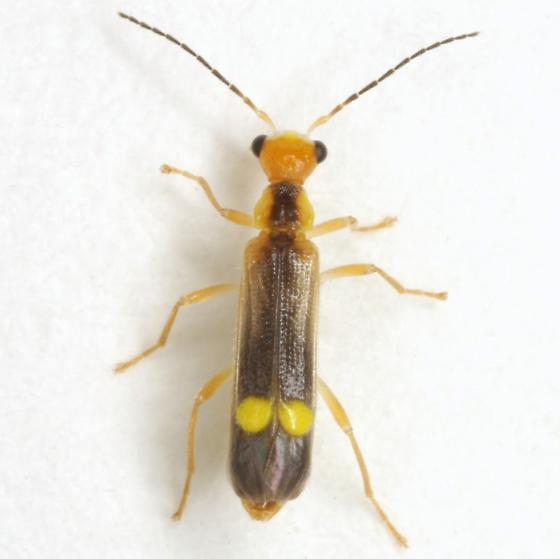 Malthinus occipitalis LeConte - Malthinus occipitalis