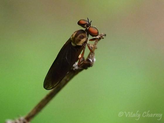 Holocephala fusca - Holcocephala fusca