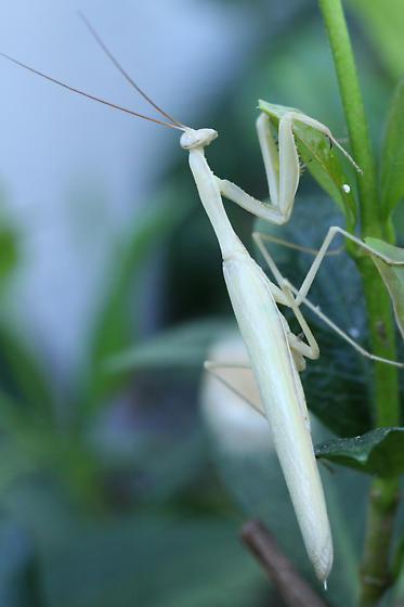 California Mantis? - Mantis religiosa - male